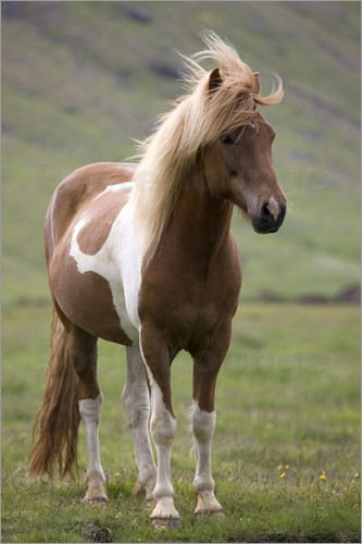 Poster Iceland horse