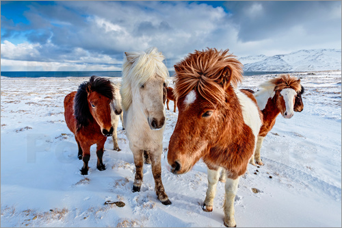 newfrontiers photography - icelandic horses in northern Iceland
