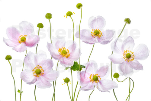 Poster Japanese Anemones