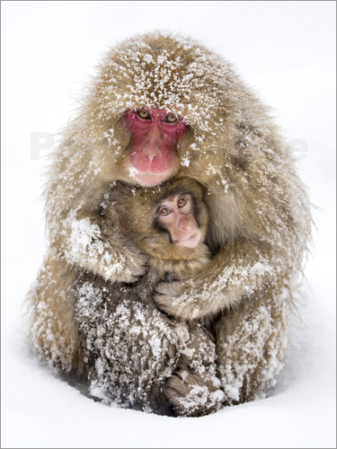 Jan Christopher Becke - Japanese snow monkeys
