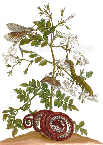 Poster jasmine with snake and lepidoptera metamorphosis