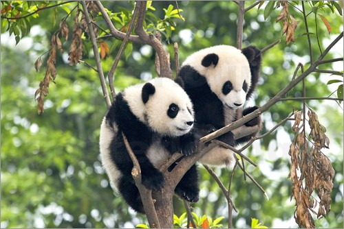 Tony Camacho - Young Pandas in a tree