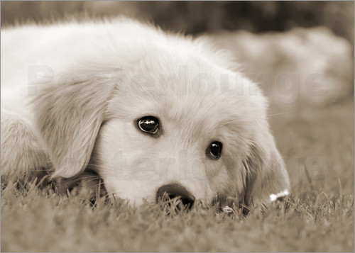Katho Menden - Golden Retriever cute puppy, monochrom