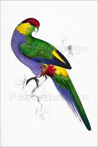 Edward Lear - Red capped Parakeet 1
