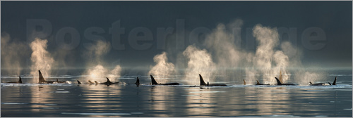 Poster Killer whales in quiet water surface in Alaska