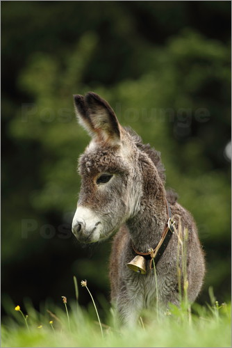 Poster little donkey