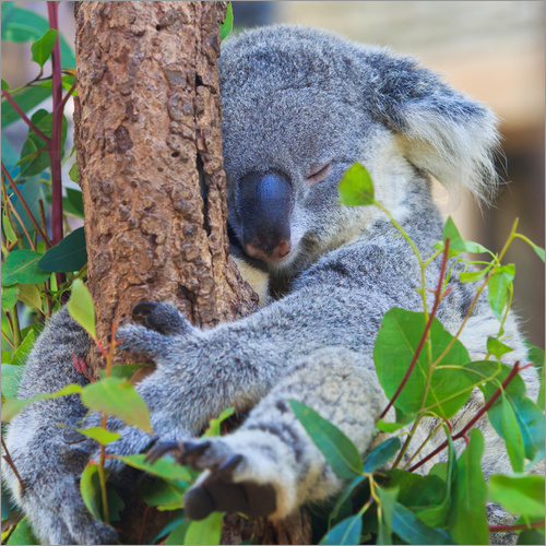 Poster Koala hugging tree