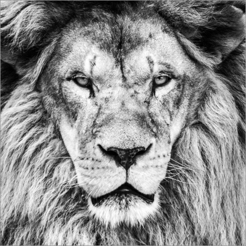 king lion black and white poster posterlounge. Black Bedroom Furniture Sets. Home Design Ideas