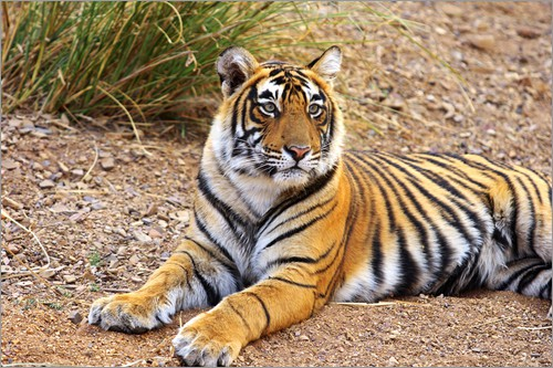 Poster Royal Bengal Tiger sitting outside grassland