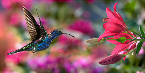 Poster Hummingbird (Archilochus Colubris) with lilies