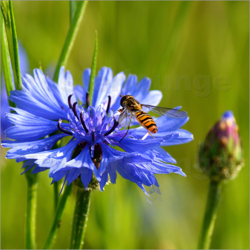 Poster Cornflower with hoverfly