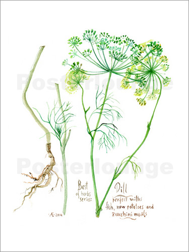 Verbrugge Watercolor - Herbs & Spices collection: Dill