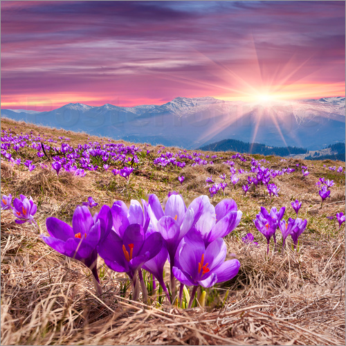 Crocuses in spring in the mountains
