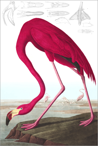 Poster American Flamingo, from 'The Birds of America'