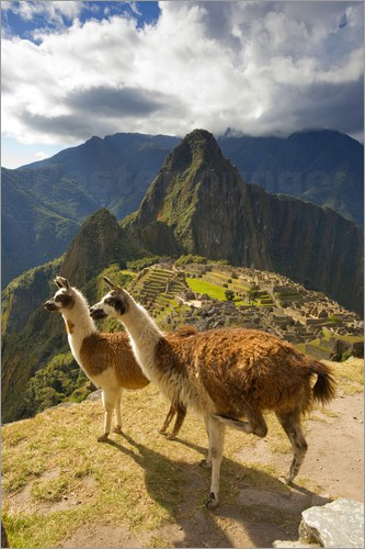 Poster Llamas and a view of Machu Picchu