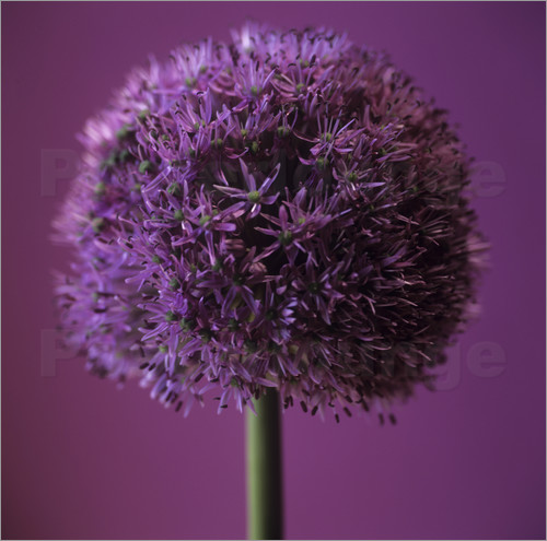 Poster Allium flower