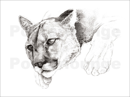 Poster Sketch Of A Captived Mountain Lion