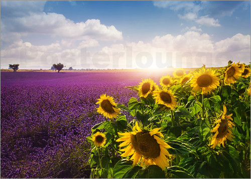 Poster Lavender and sunflowers fields , Provence