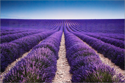 Poster Lavender field in Provence
