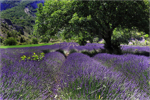 Poster Lavender field with tree