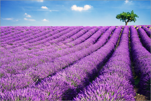 Poster Lavender field and tree