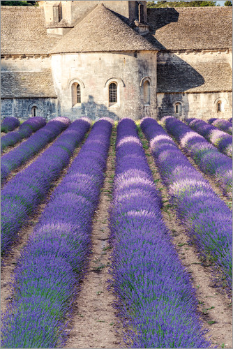Poster Lavender field and famous Senanque abbey in Provence, France
