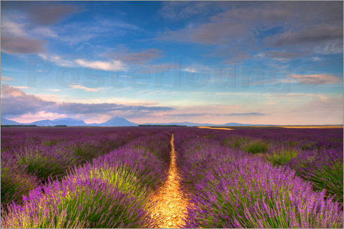 Poster Fields of Lavender, Provence
