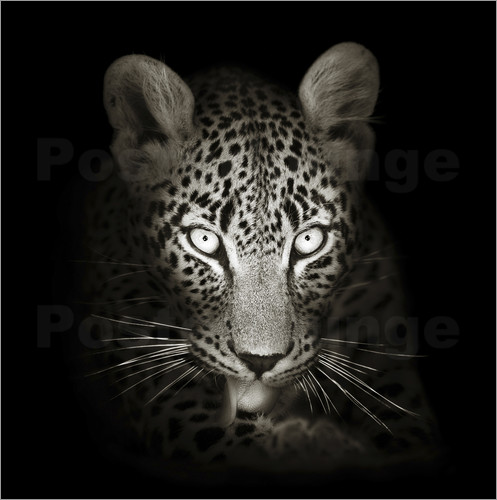 Poster Leopard portrait licking it's paw