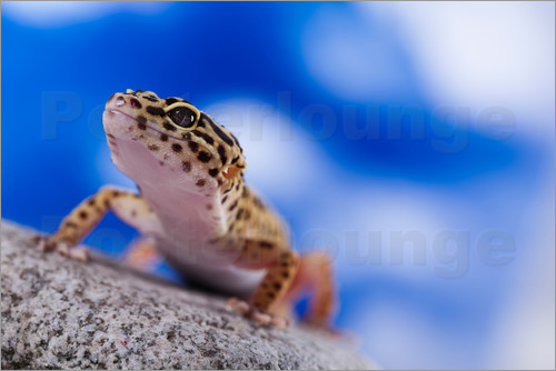 Poster Leopard Gecko on Blue