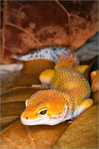 Poster Leopard gecko lying between leaves