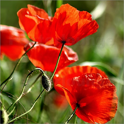Poster Luminous poppy on meadow
