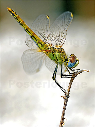 Poster dragon-fly
