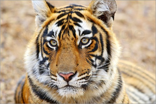 Poster Lying Royal Bengal Tiger in Portrait