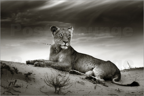 Poster Lioness resting on top of a sand dune