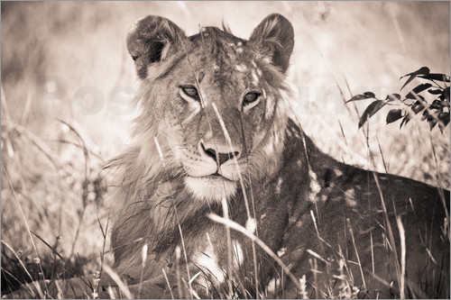 Poster Lioness between grasses