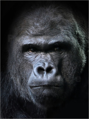 Poster male gorilla in Portrait