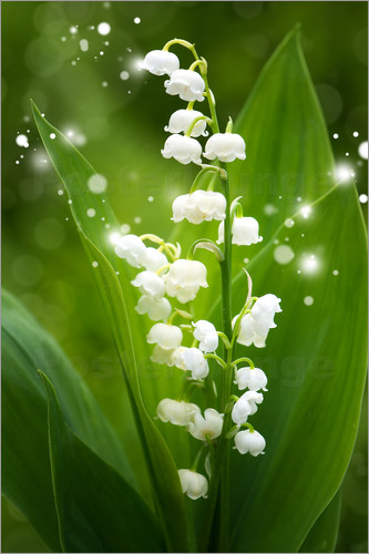 Steffen Gierok - Lily of the valley