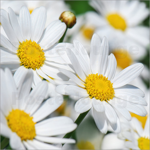 Poster Daisies