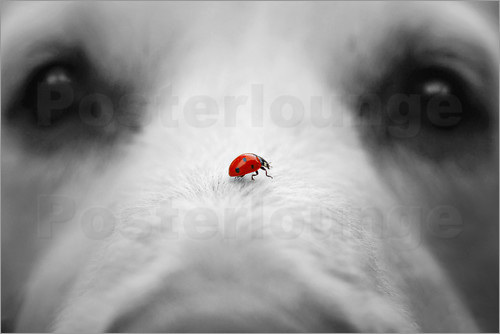 Poster Ladybug on Dog Nose