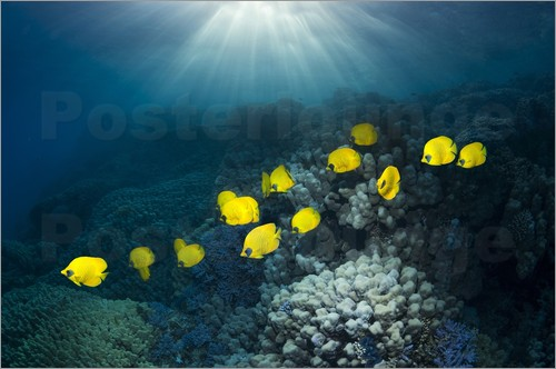 Georgette Douwma - Golden butterflyfish