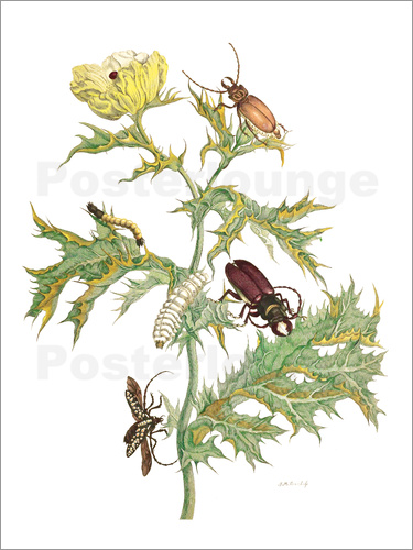 Poster Mexican Prickly Poppy and longhorn beetles