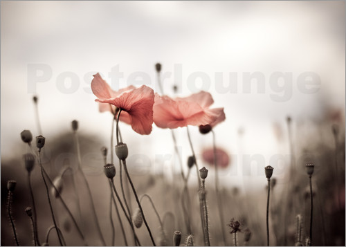 Poster Poppies 03