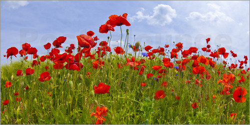 Poster Poppies Panoramic