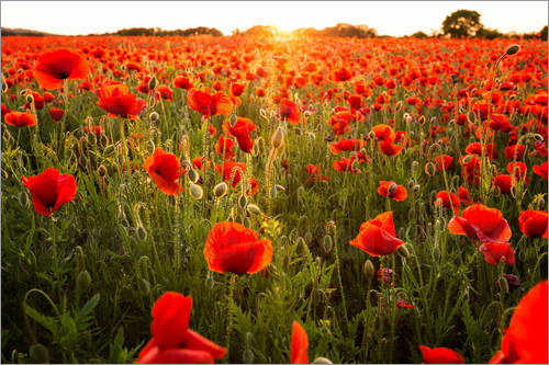 Poster Poppy field with sunset