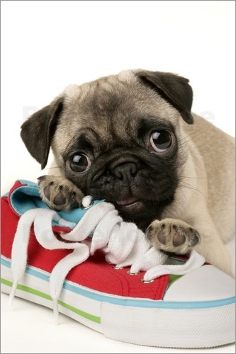Poster Pug pup and shoe