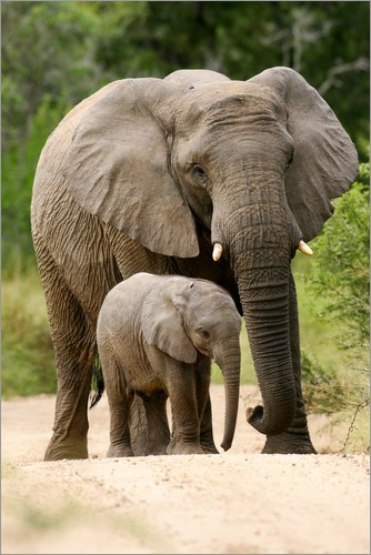 Poster Mother and calf