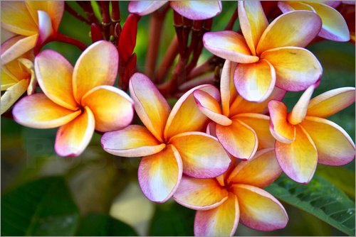 Poster Close-up of frangipani flowers