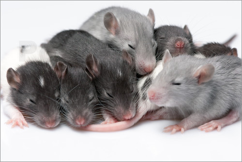 Poster cute baby rats resting