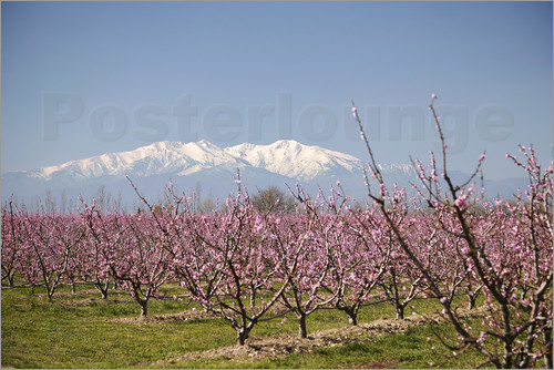 Mark Mawson - Fruit blossoms, Mont Canigou