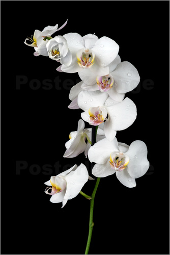 Poster White orchid on a black background